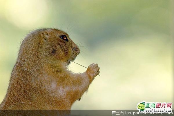超可爱的土拨鼠