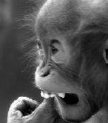 沉思中的猩猩是别样的可爱