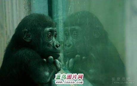 可爱的猩猩