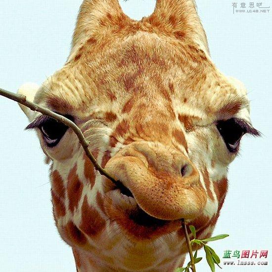 搞怪长颈鹿图片1