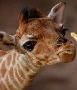 搞怪长颈鹿的可爱表情图片
