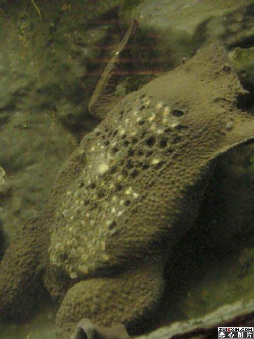 琵琶蟾蜍图片