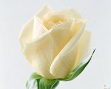 鲜花壁纸:白玫瑰花