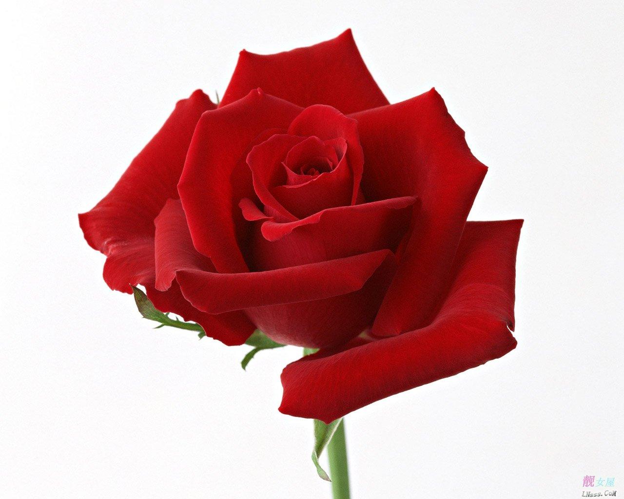 红玫瑰壁纸