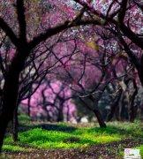 苏州梅花姹紫嫣红盛开景象