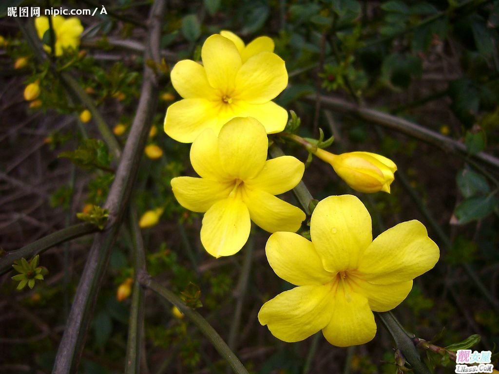 迎春花图片1