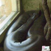 世界上最大的蛇图片