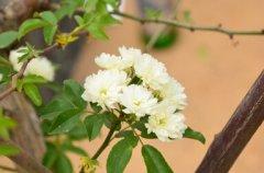 木香的功效与作用及食用方法